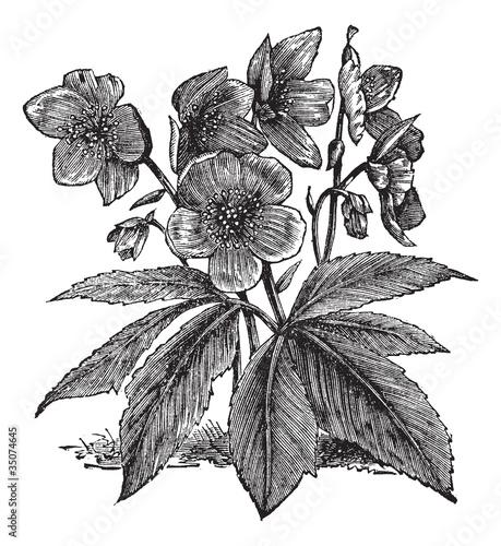 Photo sur Toile Empreintes Graphiques Black Hellebore or Christmas Rose or Helleborus niger, vintage e