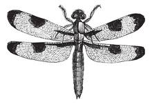 Dragonfly Three Spots (libellula Trimaculata), Vintage Engraving