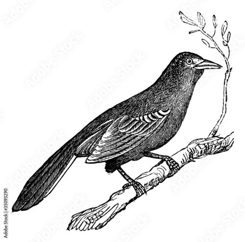 Photo Mockingbird (Mimus polyglottus), vintage engraving