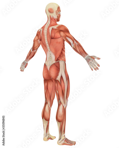 Male Muscular Anatomy Angled Rear View – kaufen Sie diese ...