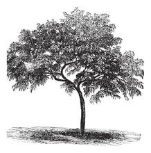 Peach Or Prunus Persica, Vintage Engraving