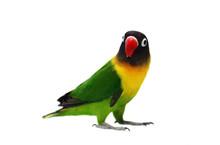 Masked Lovebird Natural Colori...