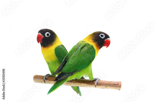 Autocollant pour porte Perroquets Pair of Masked Lovebird natural coloring on the white background