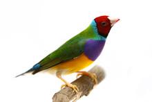Gouldian Finch - Erythrura Gou...