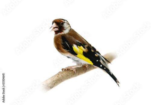 Cuadros en Lienzo European goldfinch isolated on white (female)