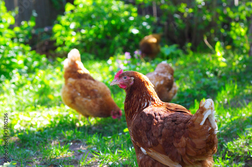 Poules Chicken