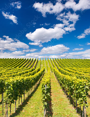 Foto op Canvas Wijngaard beautiful vineyard landscape with cloudy blue sky