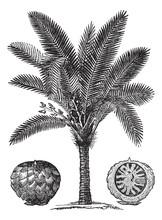 Sago Palm Or Metroxylon Sagu Vintage Engraving