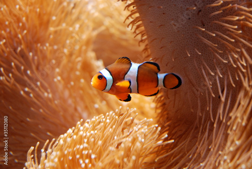Fotomural  Clown fish