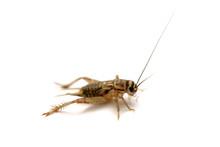 The Common House Cricket (Acheta Domesticus) Isolated On White