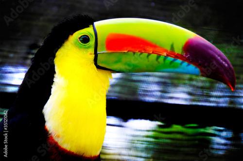 Foto op Canvas Toekan beautiful tucan