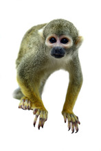 Squirrel Monkey On The White B...