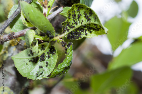 Photo Many aphids