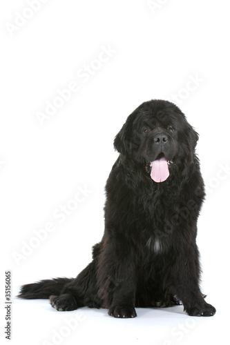 Photo  chien Terre Neuve assis de face en studio