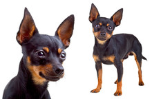 Russian Toy Terrier. Isolated On A White Background