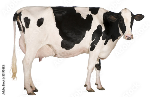 Montage in der Fensternische Kuh Holstein cow, 5 years old, standing in front of white background