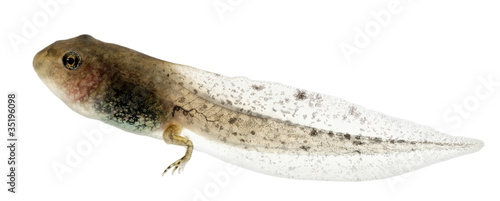 Common Frog, Rana temporaria tadpole with hind legs