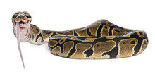 Python Royal Python Eating A M...