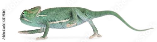 Cadres-photo bureau Cameleon Young veiled chameleon, Chamaeleo calyptratus