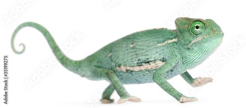 In de dag Kameleon Young veiled chameleon, Chamaeleo calyptratus