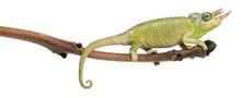 Mt. Meru Jackson's Chameleon, ...