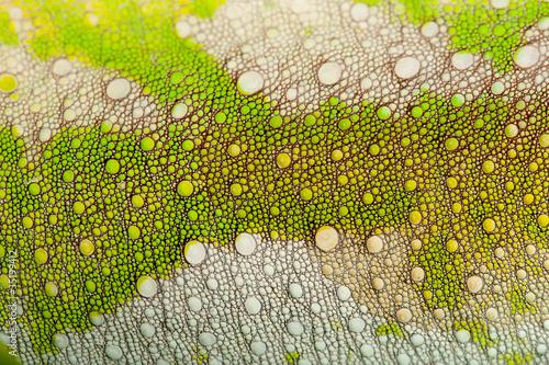 Close-up of Four-horned Chameleon skin, Chamaeleo quadricornis