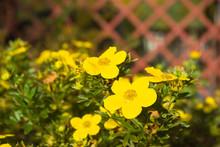 Shrubby Cinquefoil Flowers