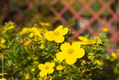 Fotografering  Shrubby Cinquefoil flowers