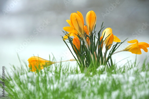 Photo Stands Crocuses Krokus im Schnee