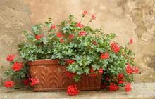 Red Geranium In Terracotta  Box