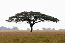 Serengeti Acacia Tree