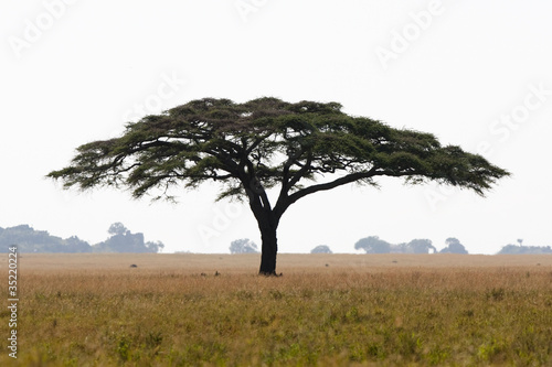 Photo Serengeti acacia tree