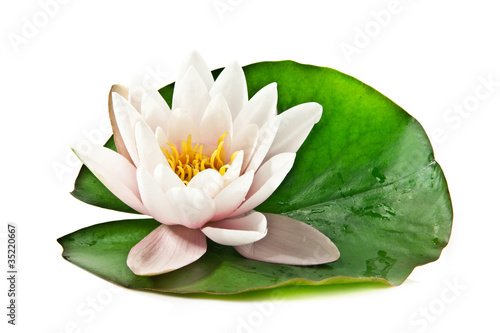 Foto op Aluminium Lotusbloem white lotus on leaf