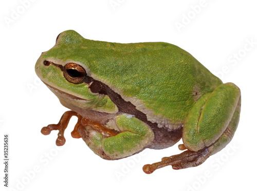 Photo European tree frog isolated on white background, Hyla arborea