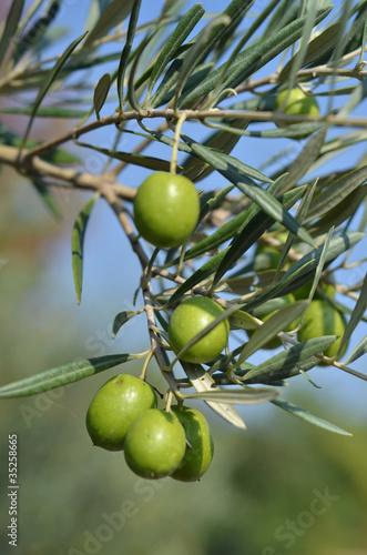 Papiers peints Oliviers olive