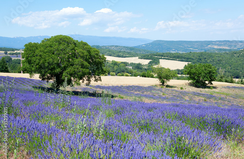 Photo  Beautiful lavender field in Provence, France