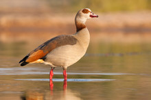 An Egyptian Goose Standing In ...