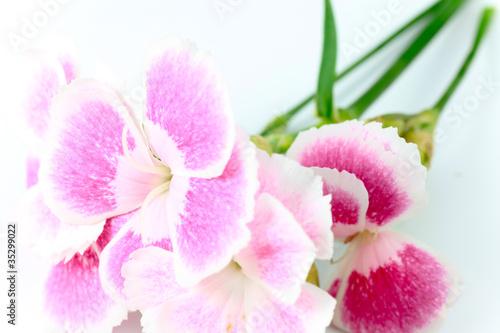 Fototapety, obrazy: Dianthus / Gift Flower