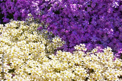 Fotografie, Obraz  Lila vs. White - Blumen
