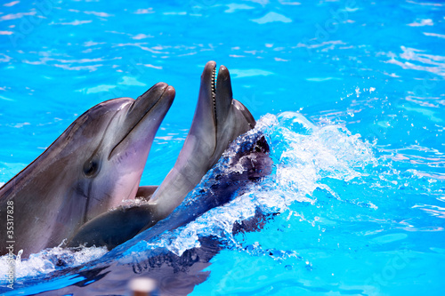 Poster de jardin Dauphins Couple of dolphin in blue water.