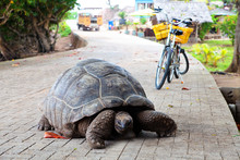 Giant Tortoise On A Road