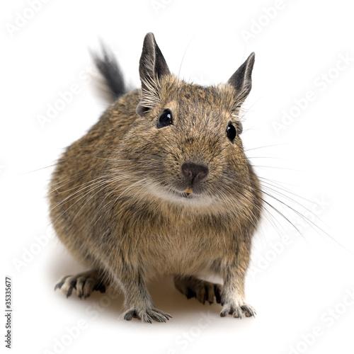Squirrel degu pet