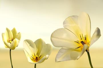 Panel Szklany Tulipany tulipan