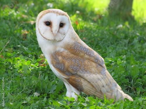Photographie Schleiereule (Tyto alba)