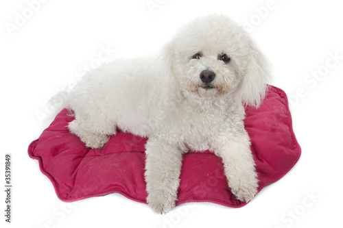Photo bichon frisé sur son tapis