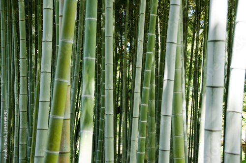 Poster Bambou Green bamboo forest background