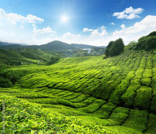 Fototapety do pokoju herbaciana-plantacja-latem