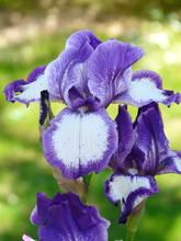 Iris Bicolore Violet Et Blanc