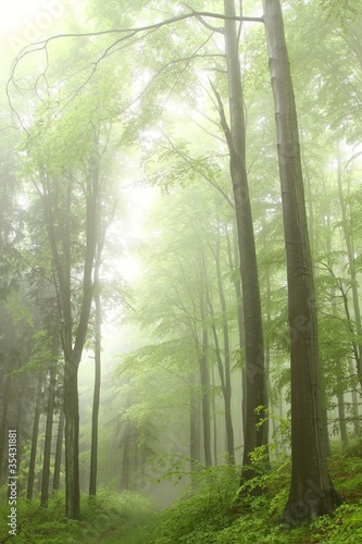 Foto auf Acrylglas Wald im Nebel Path in the deciduous forest on a foggy spring morning
