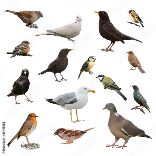 Poster Bird British Garden Birds